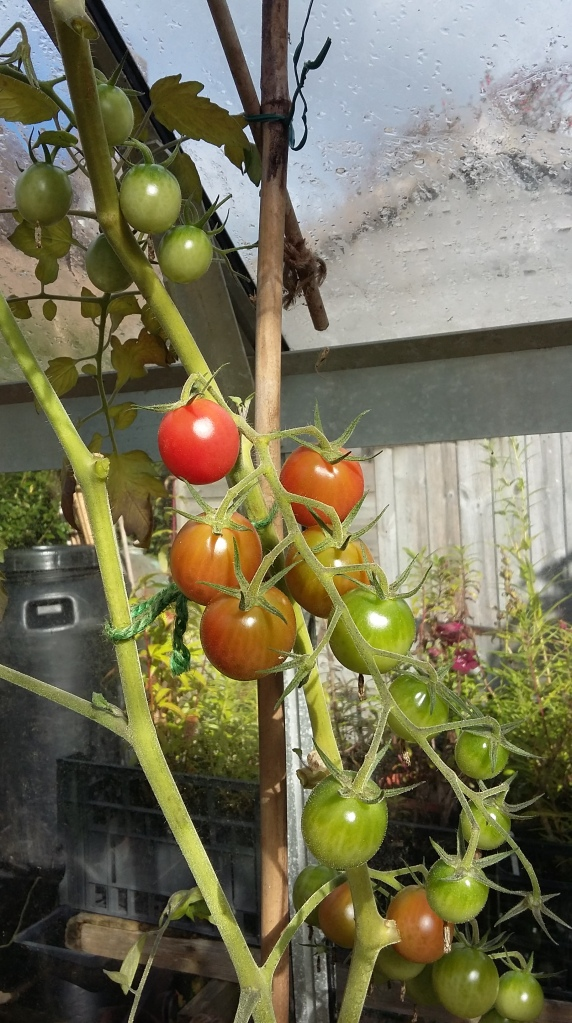 08 Tomatoes, Variety - Baby Pink